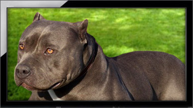 Male American Bully Pitbull Dogs | XL & XXL Bullies Dog Breed